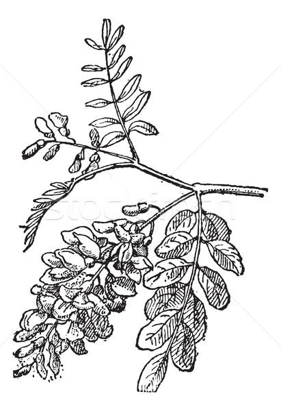 Robinia, vintage engraving. Stock photo © Morphart
