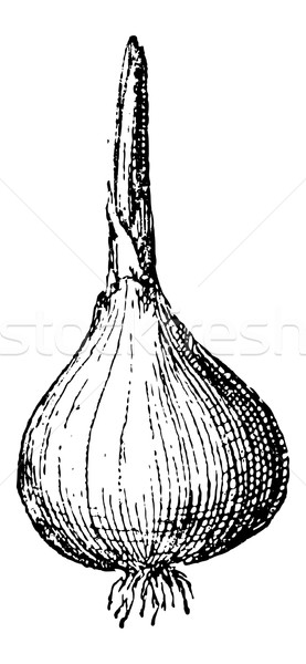 Onion or Allium cepa, vintage engraving Stock photo © Morphart