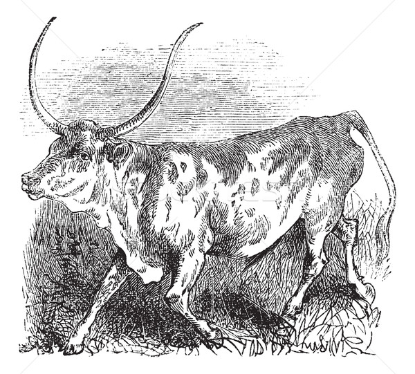 Brazilian, cow, vintage engraving.  Stock photo © Morphart