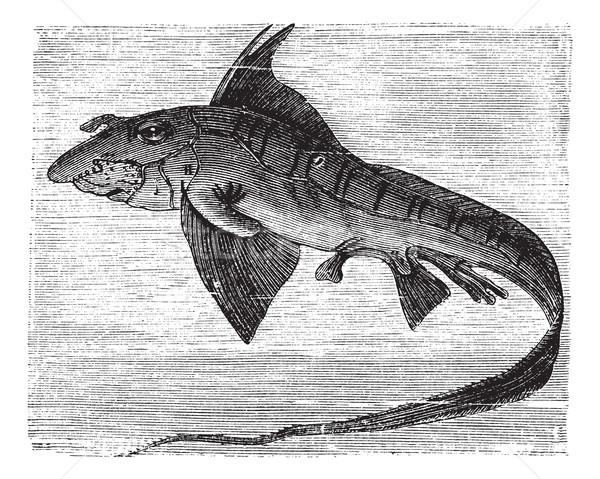 Rabbit Fish or Rat Fish or Chimaera monstrosa vintage engraving Stock photo © Morphart