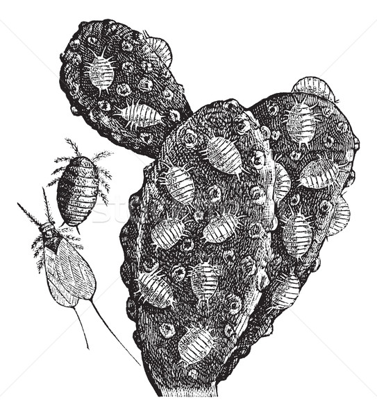 Mealybug or Pseudococcidae vintage engraving Stock photo © Morphart
