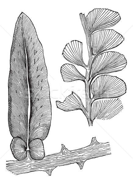 Neuropteris and Adiantites, vintage engraving Stock photo © Morphart