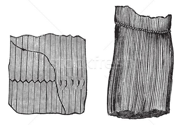 Vintage gegraveerd illustratie fossiel encyclopedie zwarte Stockfoto © Morphart