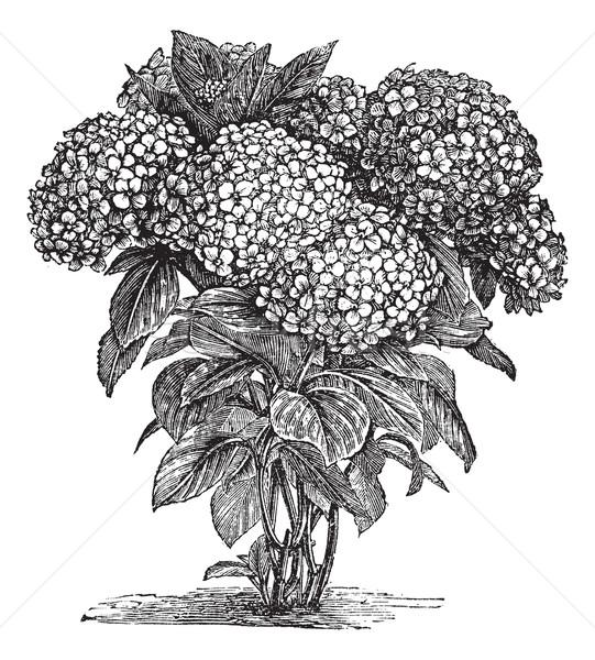 Bigleaf Hydrangea or Hydrangea macrophylla vintage engraving Stock photo © Morphart