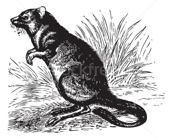 Long-nosed Potoroo or Potorous tridactylus vintage engraving Stock photo © Morphart