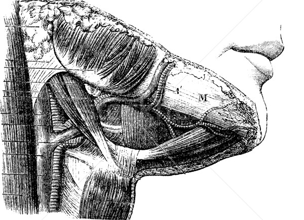 Suprahyoid region, vintage engraving. Stock photo © Morphart