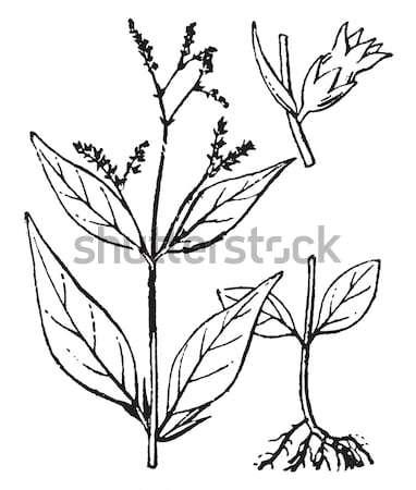 Sage or Salvia, vintage engraving. Stock photo © Morphart