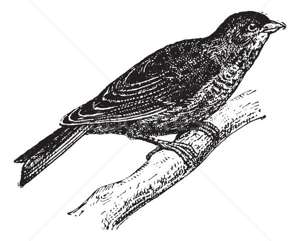 Linnet or Carduelis cannabina, vintage engraving Stock photo © Morphart