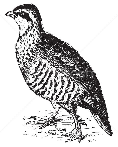 Partridge, vintage engraving. Stock photo © Morphart