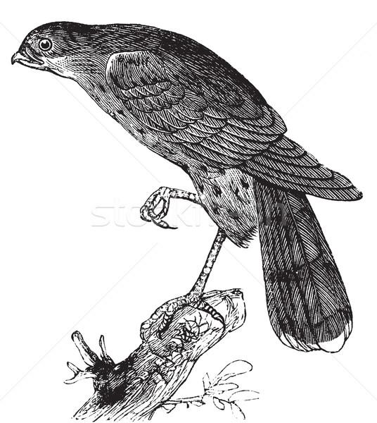 Falcão pássaro vintage ilustração velho Foto stock © Morphart
