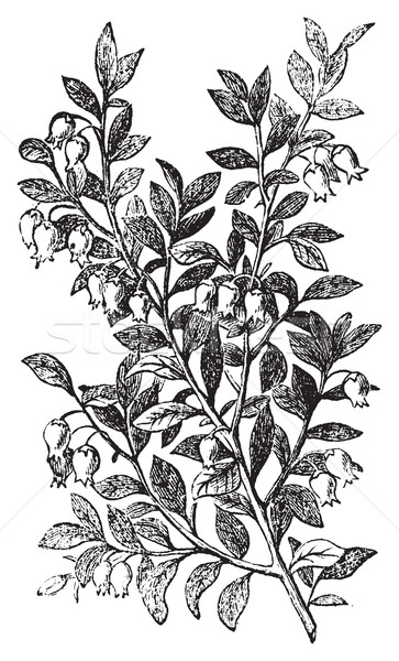 Stock photo: Bilberry, whortleberry or Vaccinium myrtillus engraving