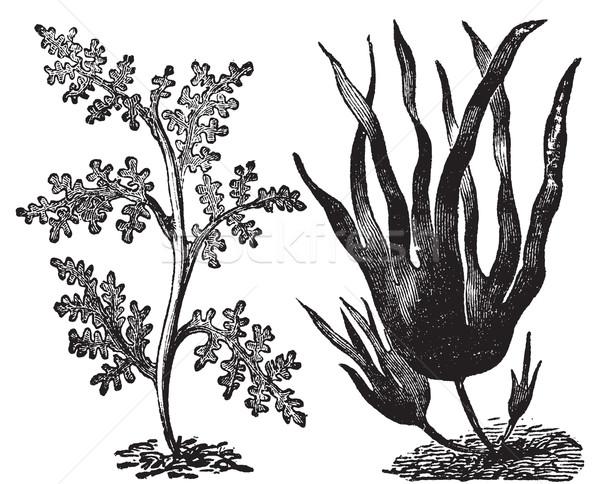 Pepper dulse, red algae or Laurencia pinnatifida (left). Oarweed Stock photo © Morphart