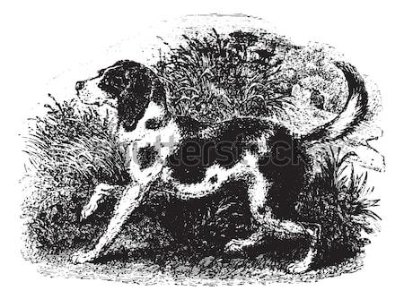 English Setter vintage engraving Stock photo © Morphart