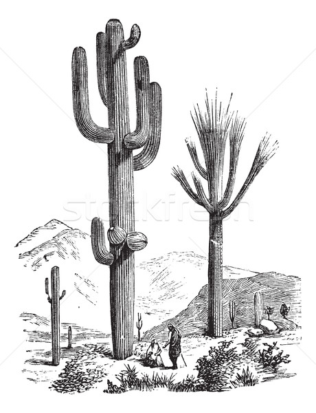 Saguaro or Carnegiea gigantea vintage engraving Stock photo © Morphart