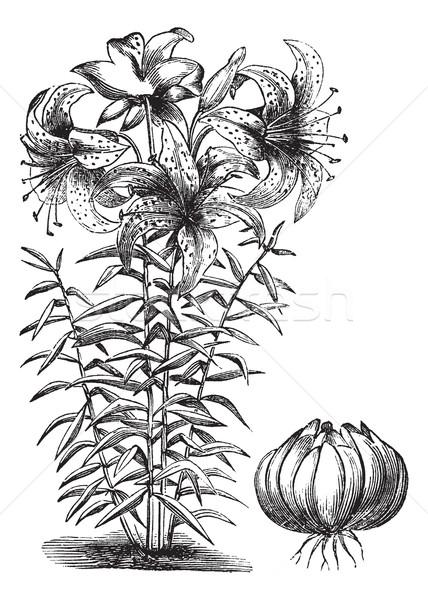 Doré Lily vintage gravure gravé illustration Photo stock © Morphart