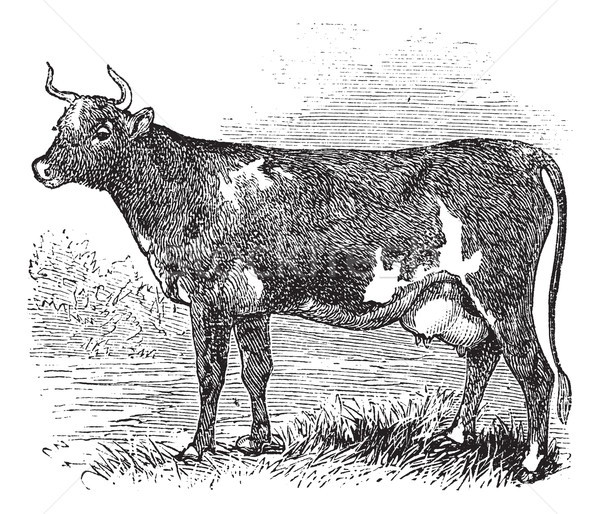 Ayrshire or Cunningham, Cattle, vintage engraving. Stock photo © Morphart