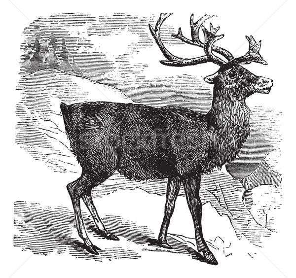 Caribou or Reindeer vintage engraving Stock photo © Morphart