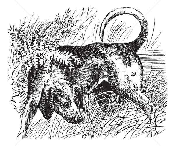 Beagle or Canis lupus familiaris vintage engraving Stock photo © Morphart