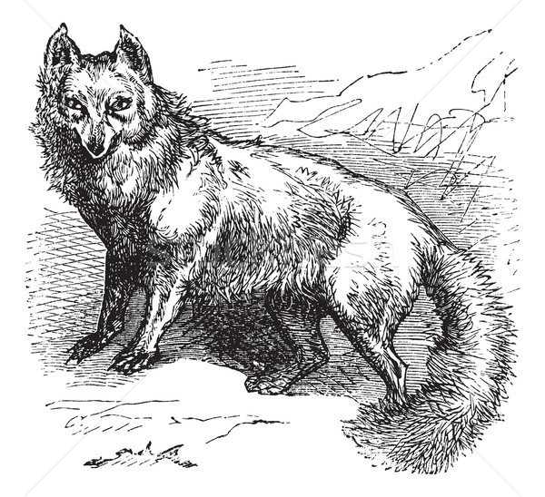Arctic Fox or Vulpes lagopus vintage engraving Stock photo © Morphart