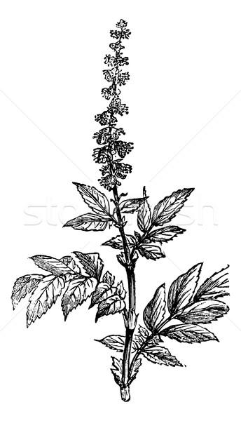 Flowering of Agrimony or Agrimonia, vintage engraving. Stock photo © Morphart