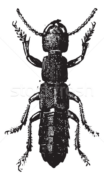 Fig 11. Ocipus Hymenoptera, vintage engraving. Stock photo © Morphart