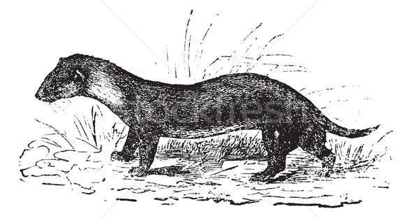 The European polecat or Mustela putorius, vintage engraving. Stock photo © Morphart