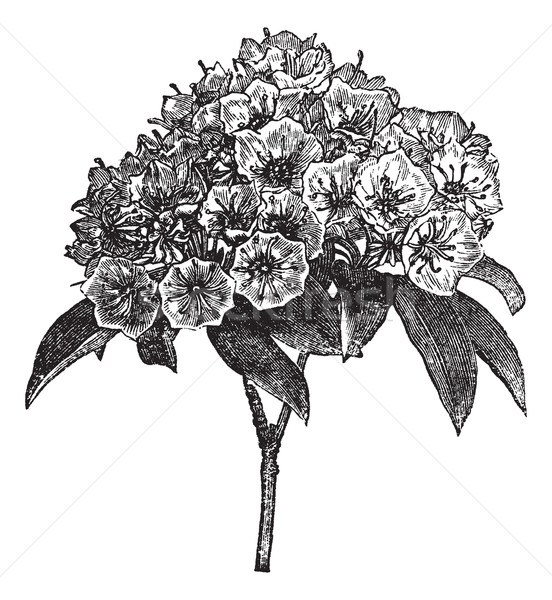 Stock photo: Kalmia latifolia or Mountain-laurel vintage engraving