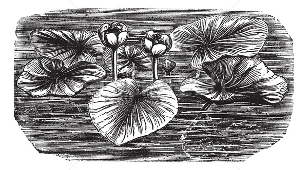 Yellow Water-lily or Nuphar lutea, vintage engraved illustration Stock photo © Morphart