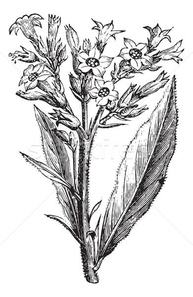Stock fotó: Dohány · klasszikus · vésés · virág · orvosi · levelek