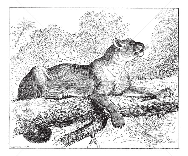 Puma or cougar, vintage engraving. Stock photo © Morphart