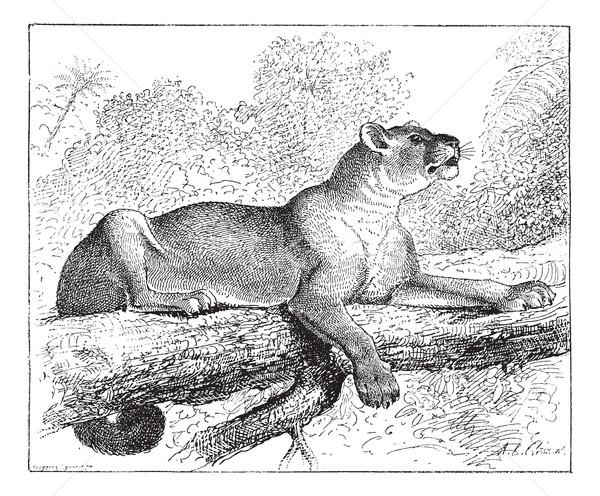 Puma puma bağbozumu oyma puma panter Stok fotoğraf © Morphart