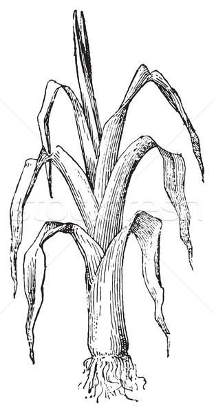 Pırasa bağbozumu oyma oyulmuş örnek sözlük Stok fotoğraf © Morphart