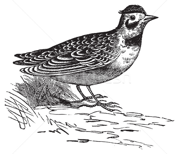 Horned lark or Eremophila alpcstris vintage engraving. Stock photo © Morphart