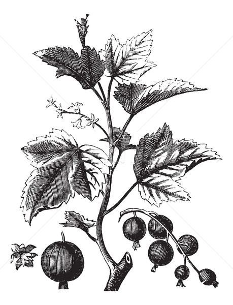 Ribes berry or blackcurrant or vintage engraving Stock photo © Morphart