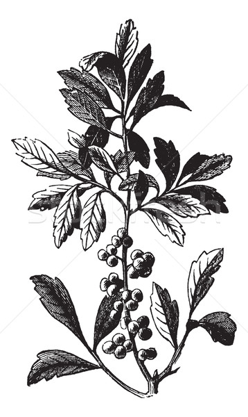 Southern Wax Myrtle or Southern Bayberry or Candleberry or Tallo Stock photo © Morphart