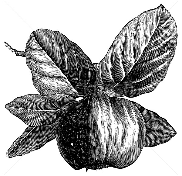 Quince or Cydonia oblonga vintage engraving Stock photo © Morphart
