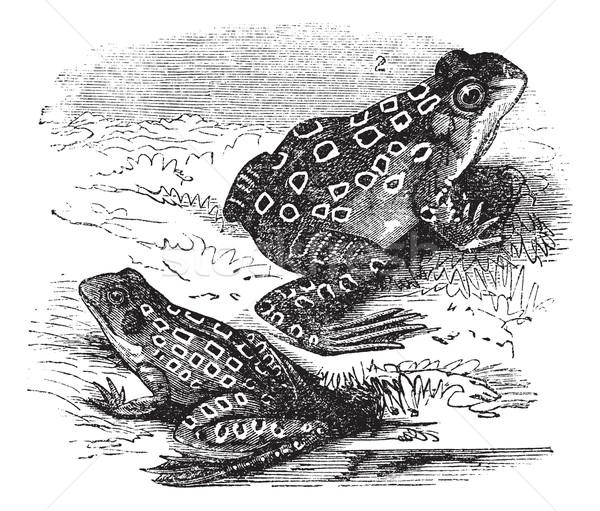 Frosch Jahrgang Gravur alten graviert Illustration Stock foto © Morphart