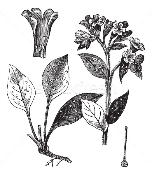 Lung officinale (Pulmonaria officinalis), vintage engraving. Stock photo © Morphart