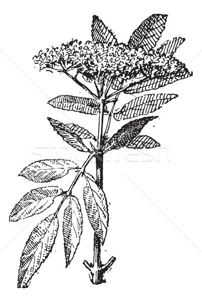 Elderberry or Sambucus, vintage engraving. Stock photo © Morphart