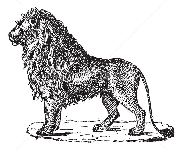 Lion or Panthera leo, vintage engraving Stock photo © Morphart