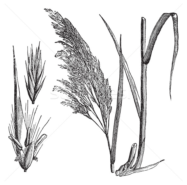 Common reed (Phragmites communis), vintage engraving Stock photo © Morphart
