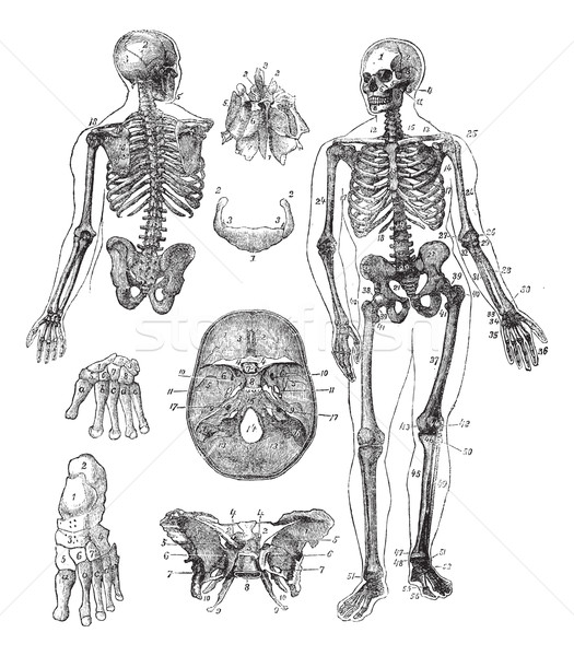 Human skeleton vintage engraving Stock photo © Morphart