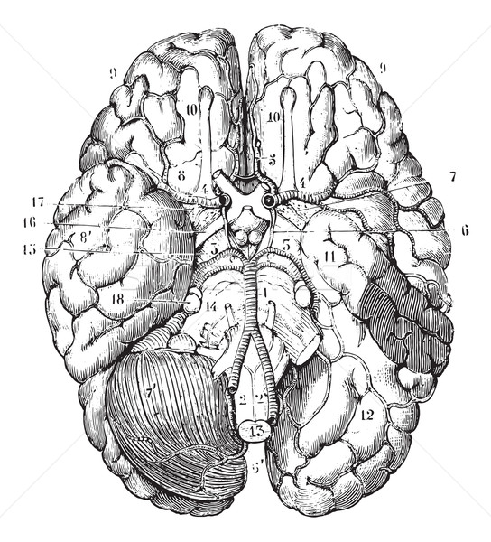 Base of the brain, vintage engraving. Stock photo © Morphart