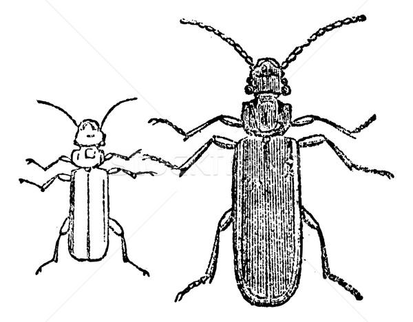 Cucujo beetle, vintage engraving. Stock photo © Morphart