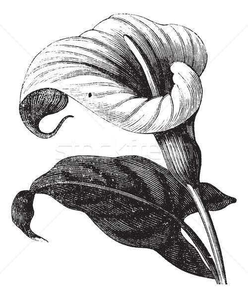 Zantedeschia aethiopica or Richardia Africana, flower, vintage e Stock photo © Morphart