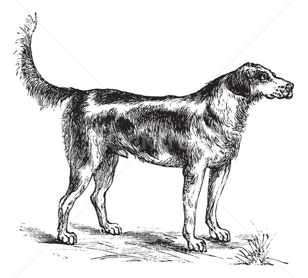 Stock photo: Harrier or Canis lupus familiaris vintage engraving