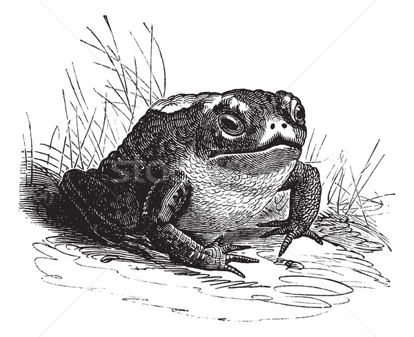 Common Toad or Bufo sp. vintage engraving Stock photo © Morphart