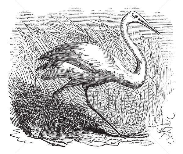 Whooping cranes (Grus Americana) vintage engraving Stock photo © Morphart