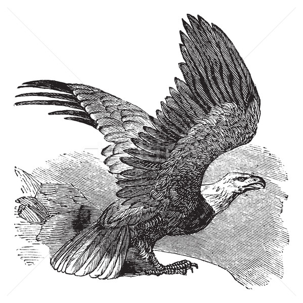 Bald Eagle (Haliaeetus leucocephalus), vintage engraving. Stock photo © Morphart