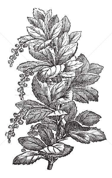 Fig. 173. Berberis or barberries, vintage engraving. Stock photo © Morphart